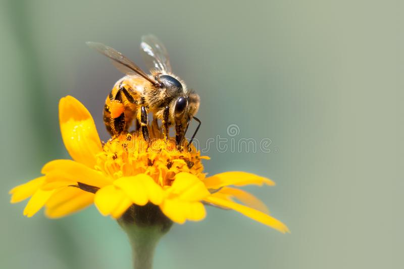Honey bee pollinator close up macro photo. Bee is drinking nectar from yellow wild flower with proboscis. Extending into the flower head. Out of focus royalty free stock photography
