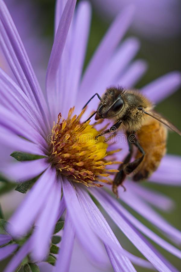 Honey bee on purple flower royalty free stock image