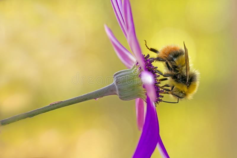 Honey Bee on purple flower. Honey Bee purple flower macro bees pollen close-up insect summer worker working gathering busy wasp insect fragile royalty free stock photos
