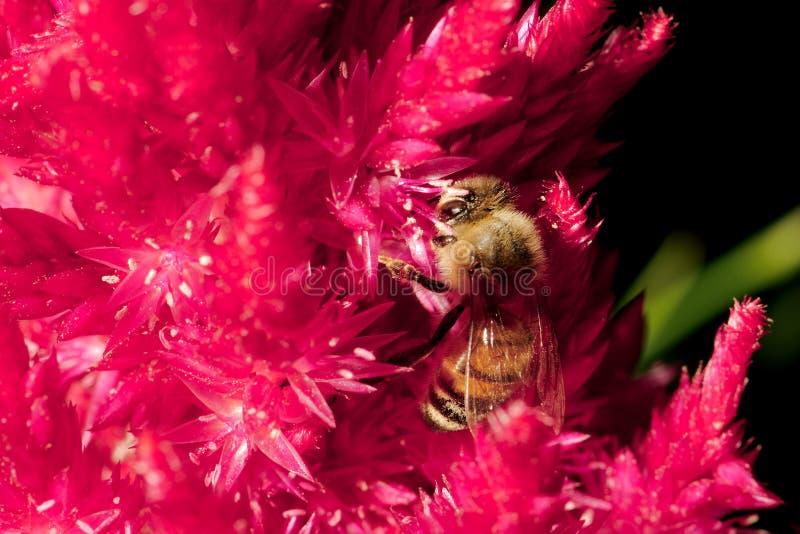 Honey Bee que alimenta el cierre de Pampa Plume Celosia Mix para arriba foto de archivo libre de regalías