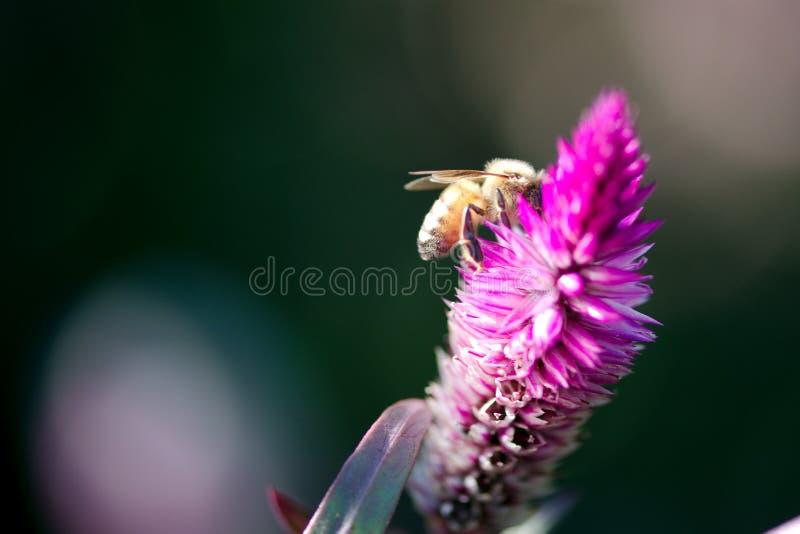Honey Bee que alimenta en el cierre de Pampa Plume Celosia Mix para arriba foto de archivo libre de regalías