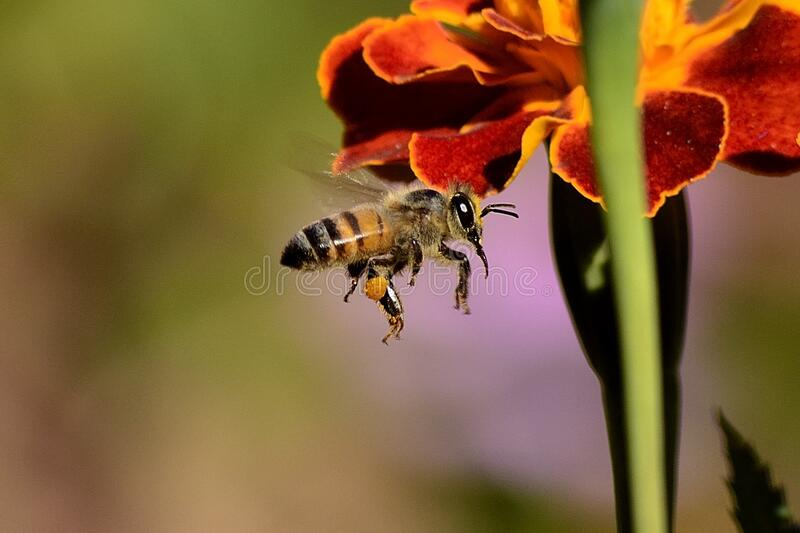 Honey Bee On Red And Yellow Flower During Daytime Free Public Domain Cc0 Image