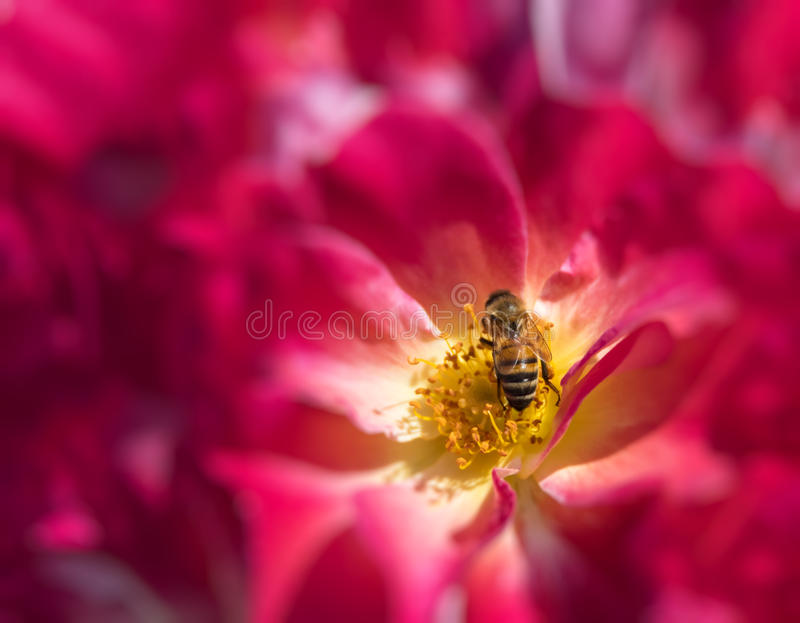 Honey Bee. In a rose flower feeding and pollinating stock images