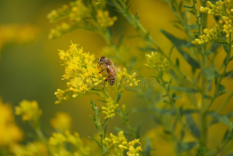 Honey Bee Searches para o pólen em flores amarelas imagens de stock