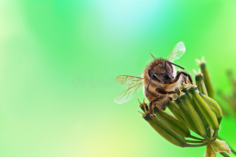 Download Honey bee stock image. Image of beautiful, color, collecting - 32073929