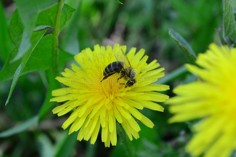 Honey bee and a dandelion stock image