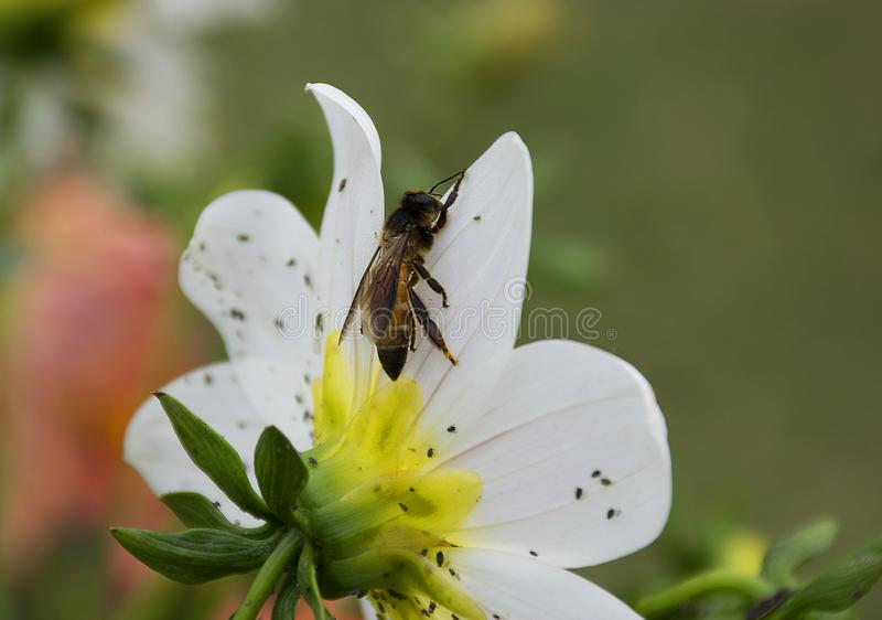 A honey bee on a flower stock images