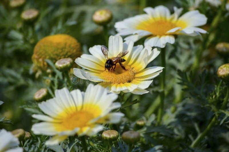 Honey Bee som söker för mat under våren i gul kärna av kronblad för en vit blomma för pollination parkerar in, trädgården royaltyfri foto