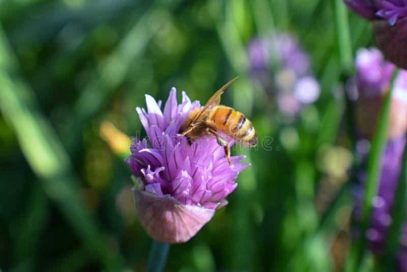 Honey Bee som samlar nektar, och pollen på en sikt för makro för closeup för blomning för blomma för lök för gräslökAlliumschoeno royaltyfri bild
