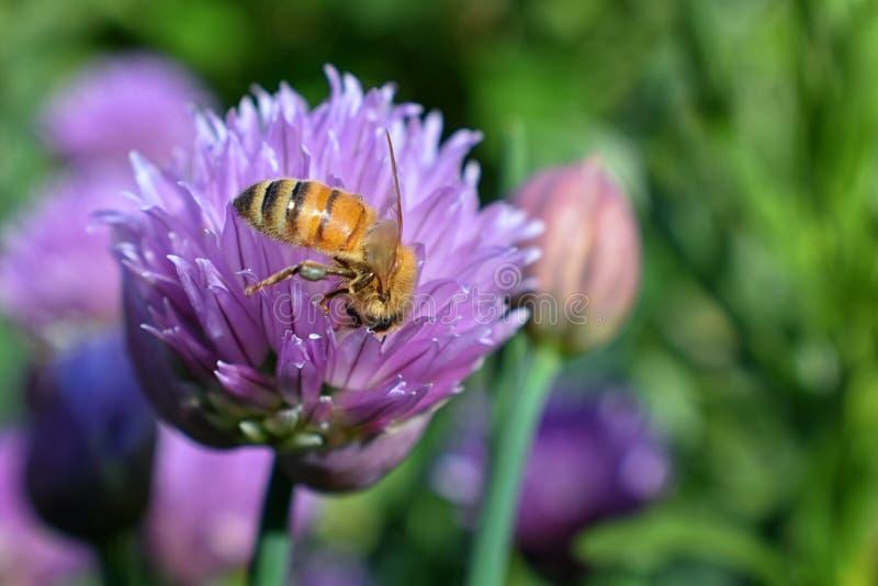 Honey Bee som samlar nektar, och pollen på en sikt för makro för closeup för blomning för blomma för lök för gräslökAlliumschoeno royaltyfri foto