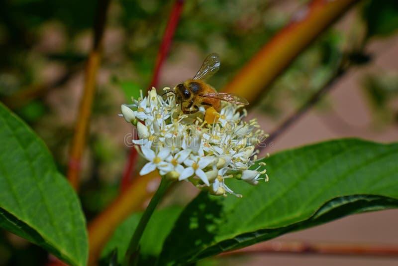 Honey Bee som samlar nektar, och pollen på en sikt för makro för closeup för blomning för blomma för skogskornellCornusCornaceae  royaltyfri bild