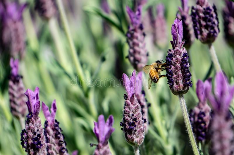 Honey bee in the spring lavender stock photography