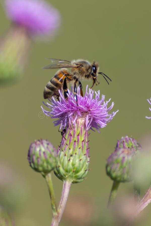 Honey Bee sucks nectar from a purple flower. In Ontario, Canada in the summer royalty free stock photos