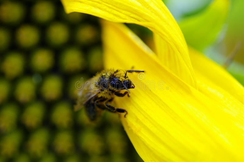 Download Honey Bee on a sunflower stock photo. Image of insect - 26493872