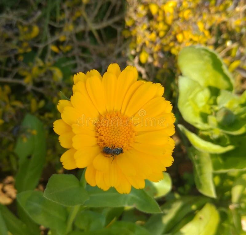 Honey Bee On Sunflower. Yellow Flower ,Bee , Garden Follower ,Signal Flower with Bee stock images