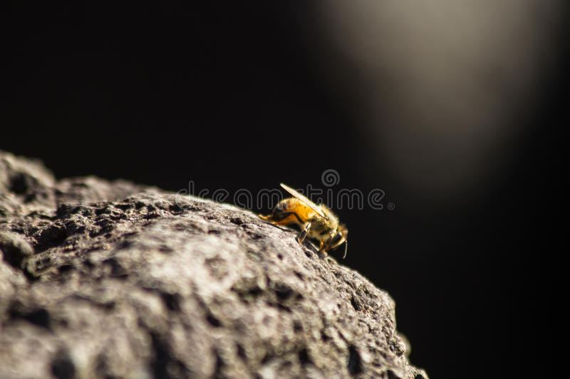 Honey bee at sunset royalty free stock images