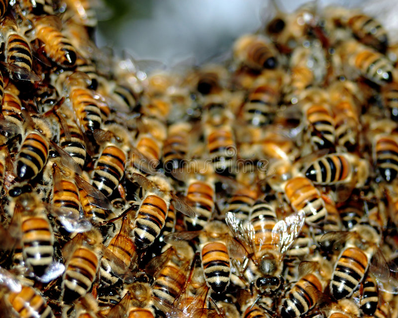 Honey bee Swarm. A spring swarm of honey bees royalty free stock photography