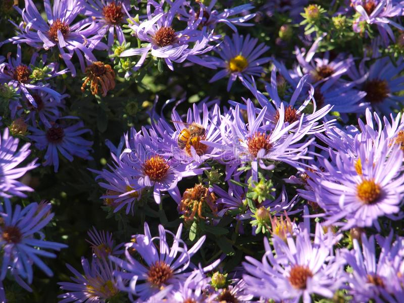 Honey Bee Takes Nectar From Blauwe Daisy Flower Bed royalty-vrije stock foto
