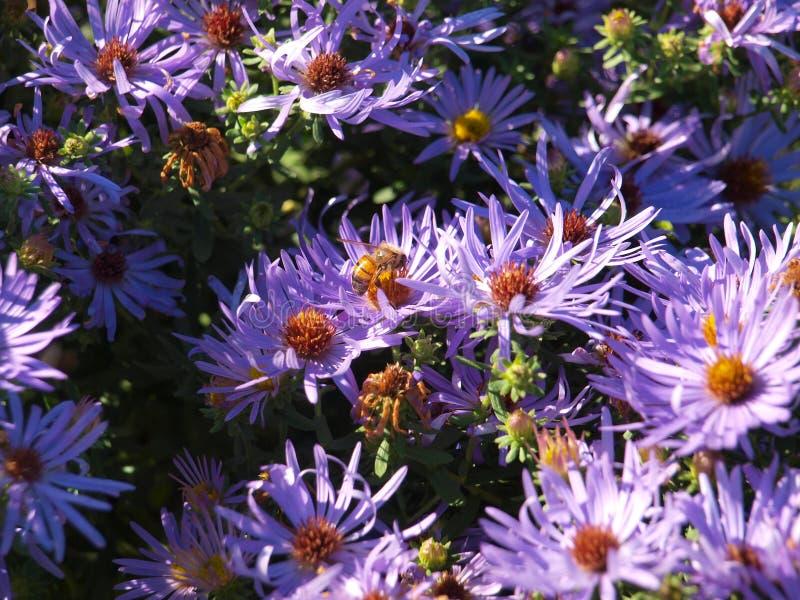 Honey Bee Takes Nectar From A Daisy Flower Bed azul foto de archivo libre de regalías