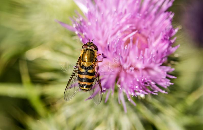 Honey Bee, Bee, Thistle, Insect Free Public Domain Cc0 Image