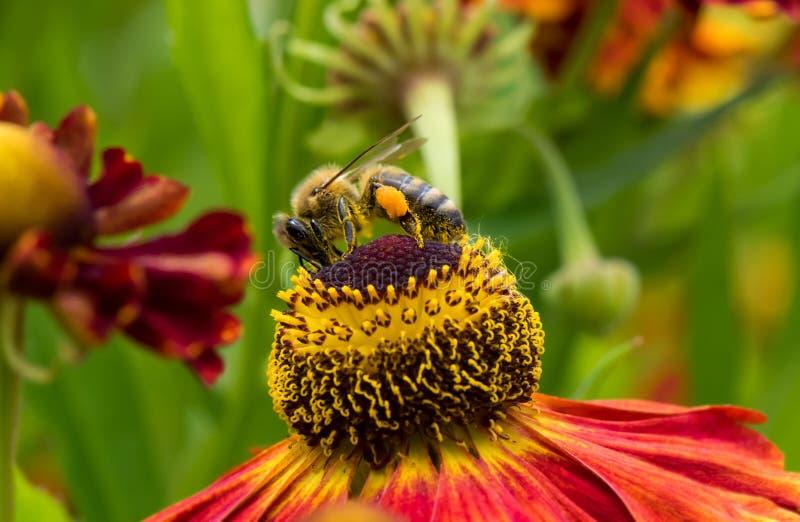 Honey Bee collecting pollen on top of beautiful Rudbeckia flower stock image