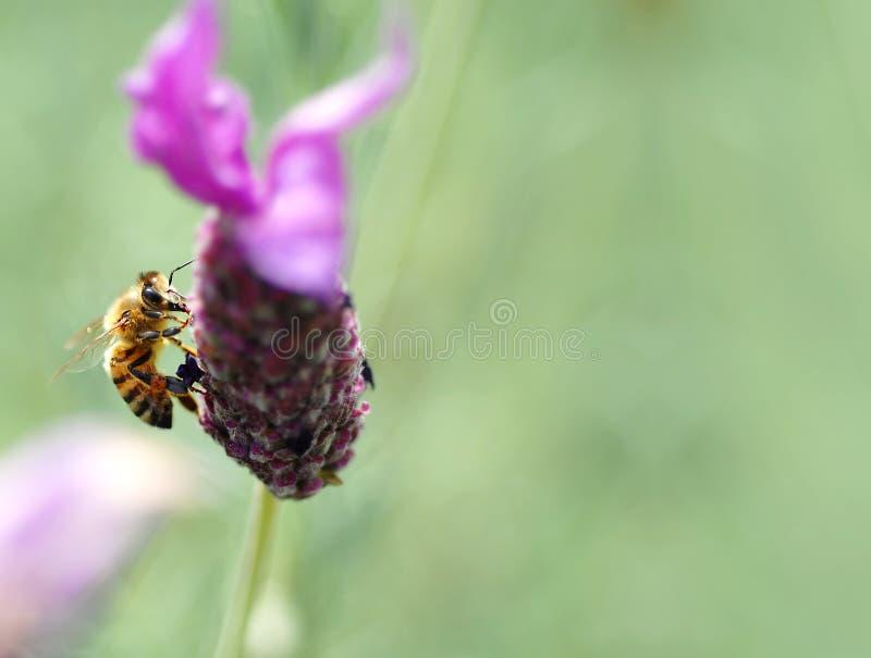 Honey Bee, on tufted vetch (Vi