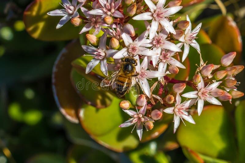 Honey Bee Two fotografía de archivo libre de regalías