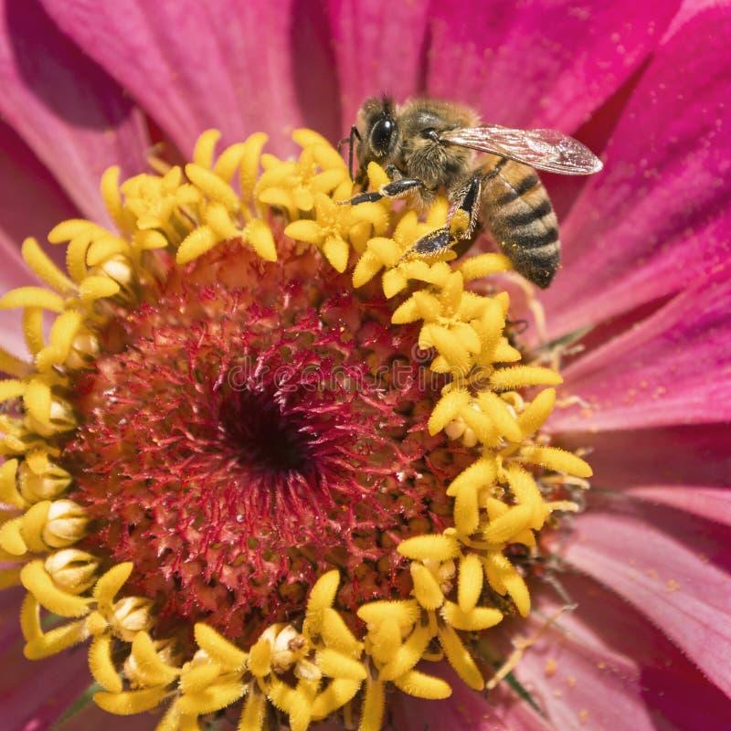 Honey Bee Visiting un rosa y una flor amarilla del Zinnia imagen de archivo