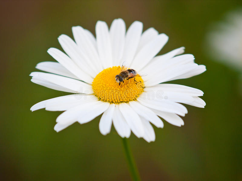 Download Honey Bee on White Daisy stock image. Image of single - 27672881