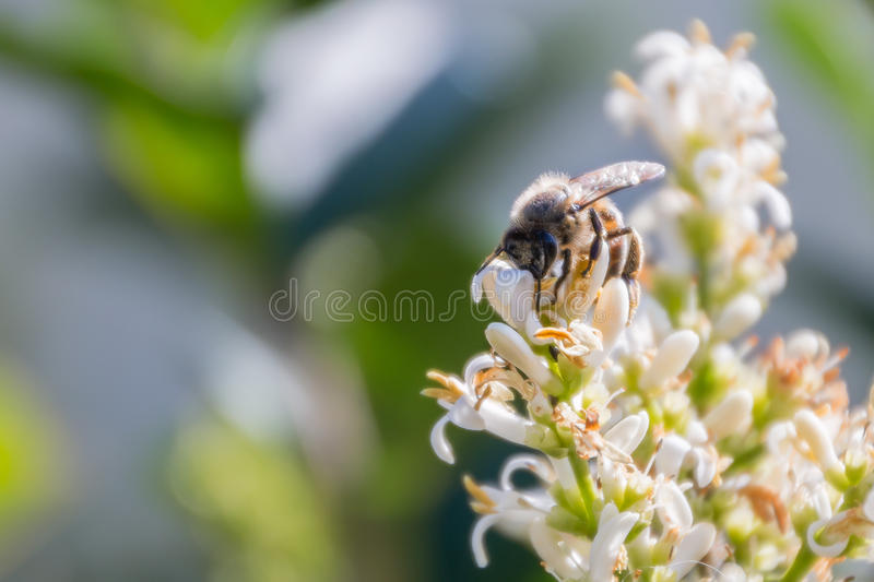 Honey bee. On white flowers royalty free stock photography