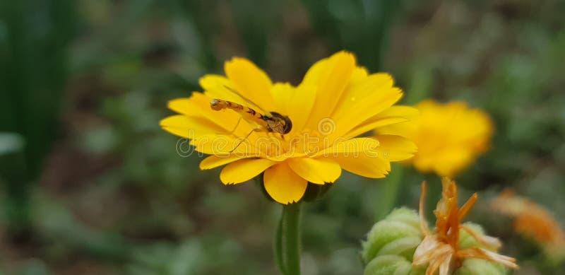 Honey Bee in wild life royalty free stock photo