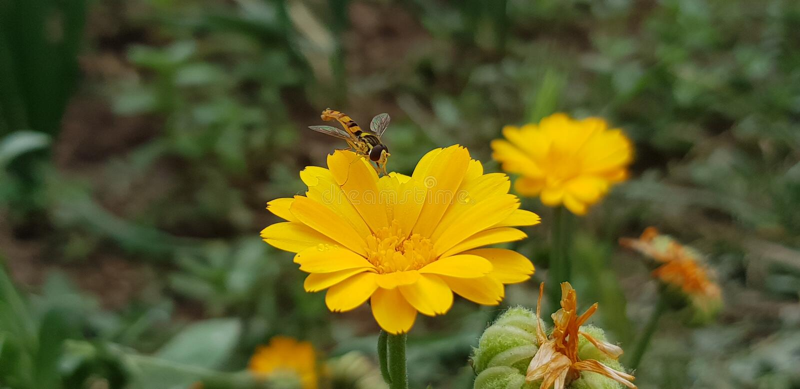 Honey Bee in wild life stock photography