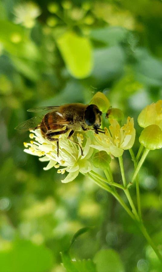 Honey Bee in wild life stock image