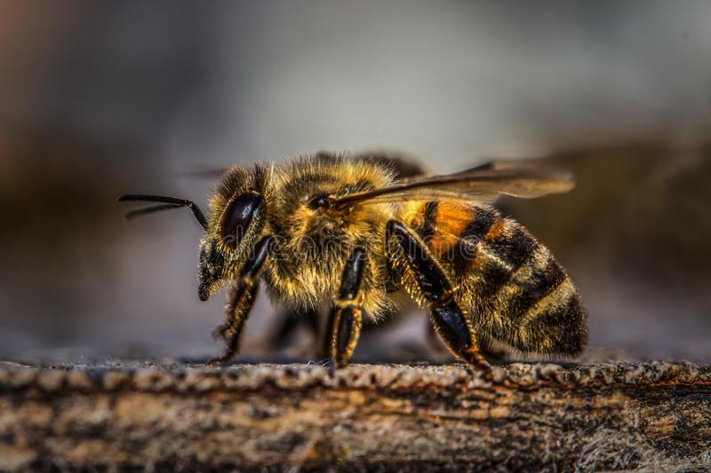 Honey Bee on Wood stock images