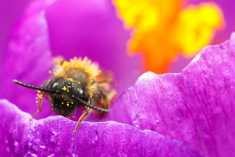 Honey bee at work royalty free stock image