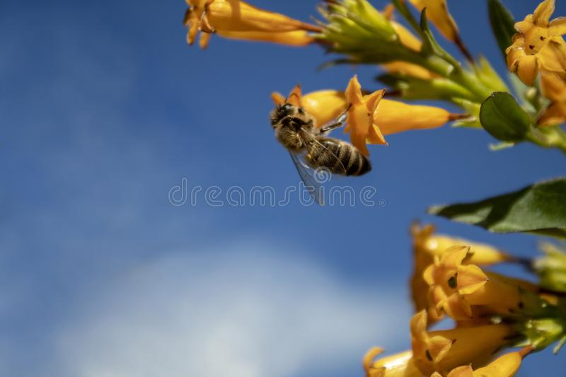 Honey bee at work stock photography