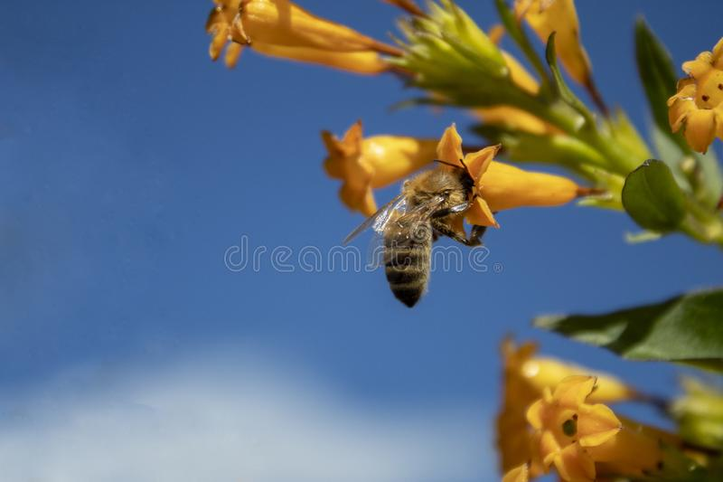 Honey bee at work stock images