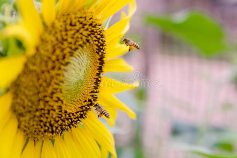Honey bee working on collecting nectar and pollens from a sunflower with copy copy space royalty free stock images