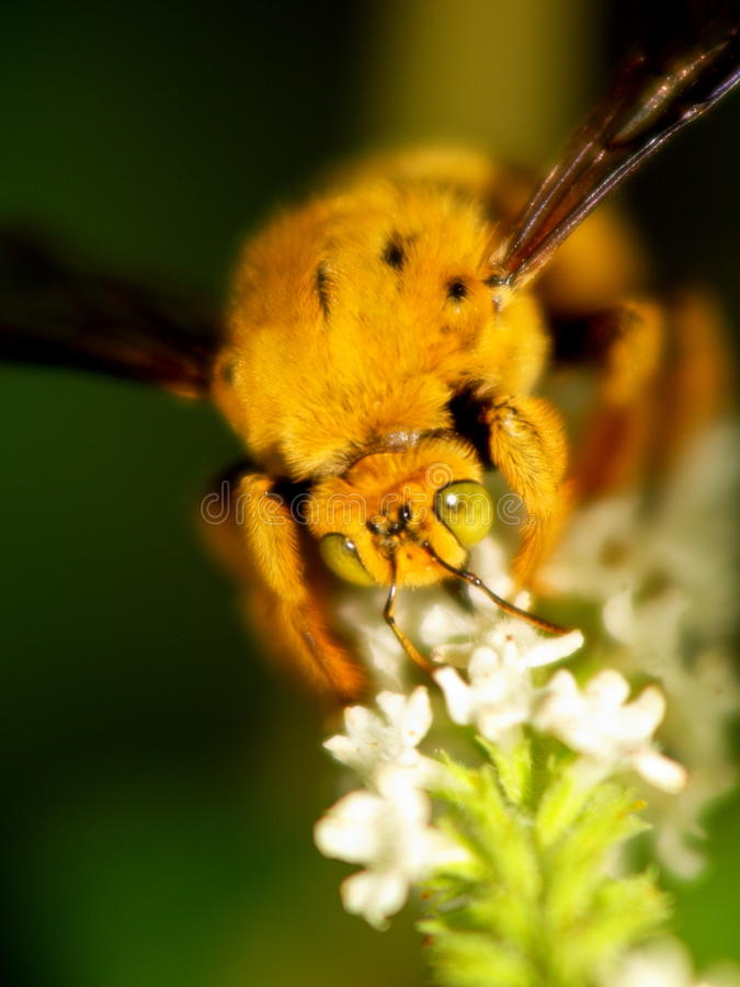 Honey Bee working with white flower. royalty free stock photography
