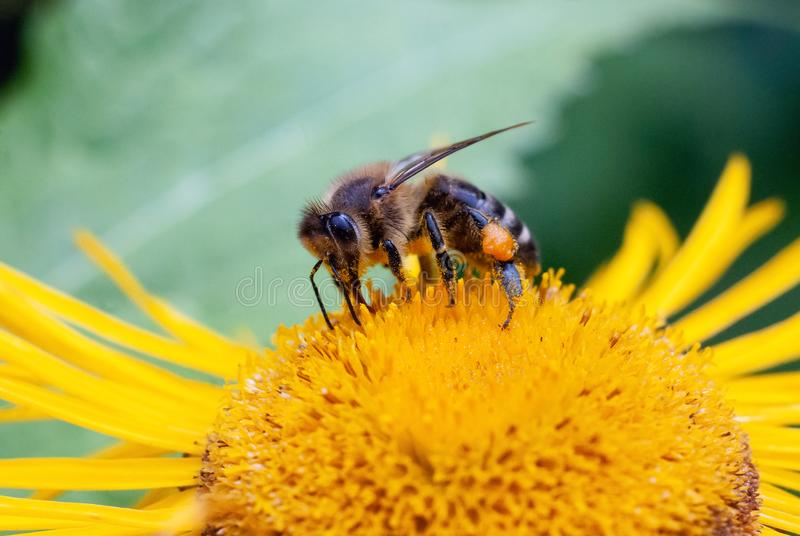 Honey bee during yellow daisy flower plant pollination macro. Close-up royalty free stock photo