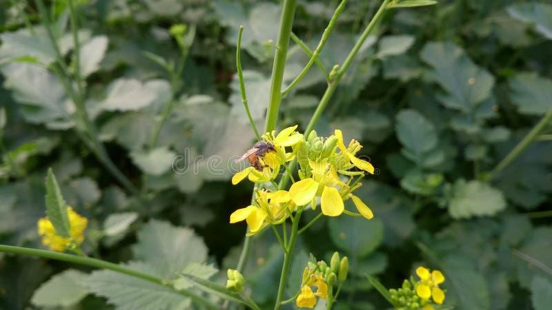 Honey bee on the yellow flowers stock photo