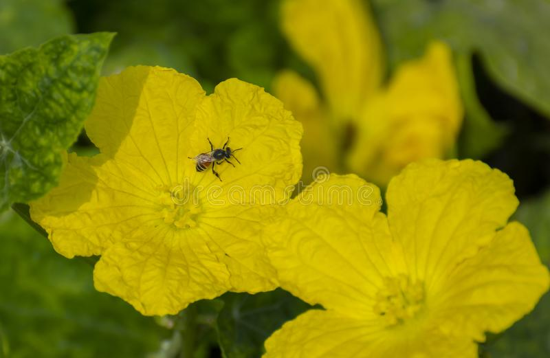 Honey Bee on the Yellow Flowers of Gourd stock image