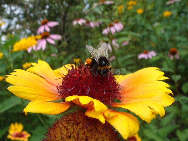 Honey bee on yellow and orange flower head of rudbeckia or black-eyed susan collect nectar and polinate flowers royalty free stock image