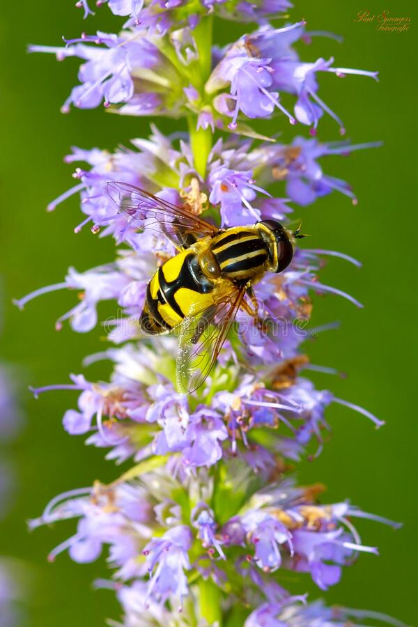 Honey Been on Flowers Close Up Photography royalty free stock photos
