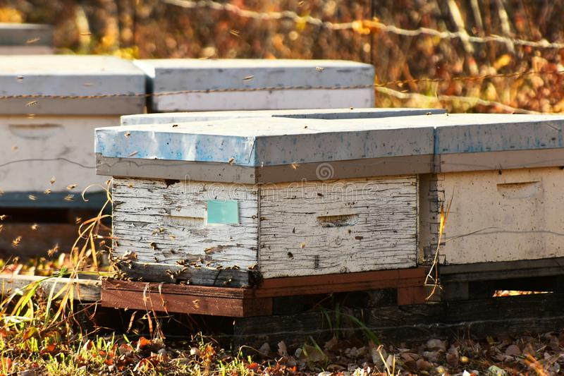 Honey Been Hives and Honey Bees. An image of small wooden honey bee hives and honey bees in late autumn royalty free stock image