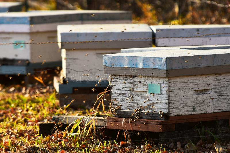 Honey Been Hives and Honey Bees. An image of small wooden honey bee hives and honey bees in late autumn stock image