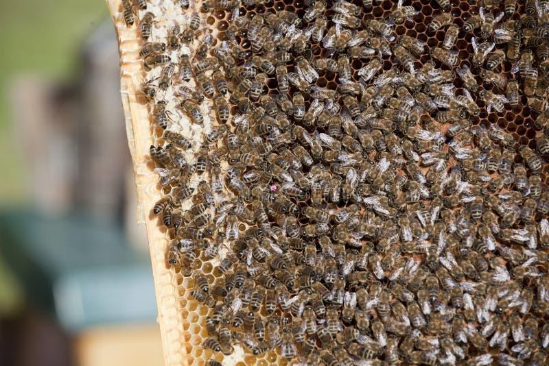 Honey Bees arkivfoto
