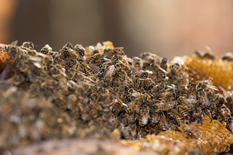 Honey Bees royaltyfri fotografi