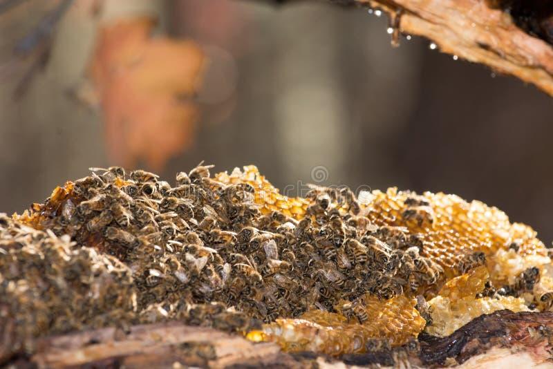 Honey Bees arkivbild