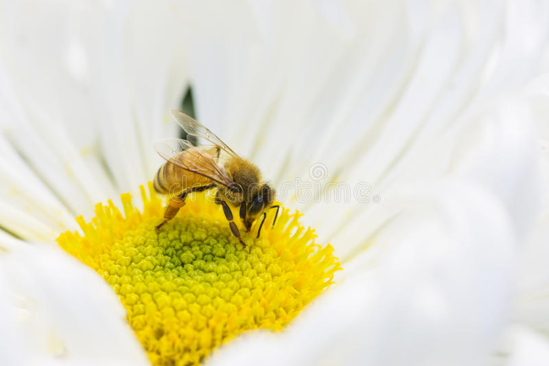 Honey Bees image stock